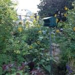 Peak sunflower season