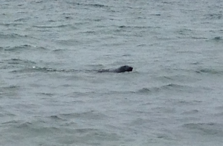There's a seal there, I promise. We also saw Finned Whales.