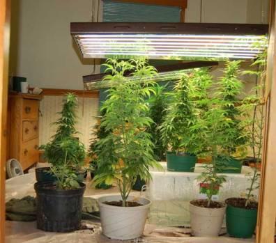 Indoor_Marijuana_Plants_Growing