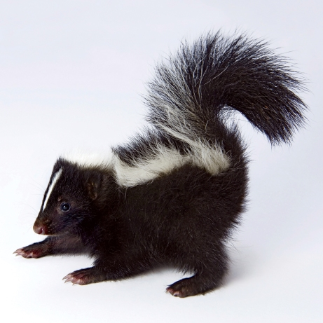 A baby skunk (Mephitis mephitis).