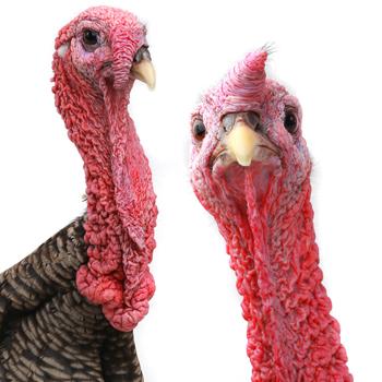 turkey-neck-350x350.jpg
