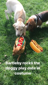 Sammy, SH and Hershey the Bassett Hound